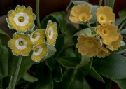 Primula auricula Loudhailer (on the right)