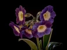 Primula auricula Lavender Lady