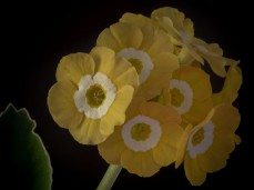 Primula auricula Sunflower