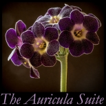auricula-suite-cover-2017-600px