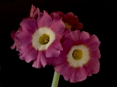 Primula auricula photography by Richard Duffy-Howard