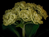 Primula auricula photography by Richard Duffy-Howard